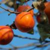 柿くへば… 10月26日は柿の日(2016/10/26)