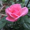 おばあちゃんの薔薇🌹が咲いた!