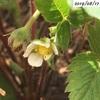 #24 四季なりイチゴ この暑さの中でも花が咲いています