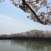 泉佐野 桜スポット 市役所近くの桜はサイコーです!イベントとか。
