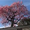 しだれ梅を見つけに旅にでた!〜音楽聴きながら〜