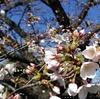 桜をみて、「さくら」を想った日