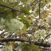 見つけたら金運アップ?!めずらしい緑の桜も!わたしが出会った春のカワイイお花たち。