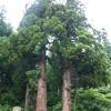 大谷地山神社門前の杉