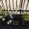 ジューンベリー開花と桜