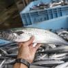 2017年9月22日 小浜漁港 お魚情報