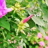 一日一撮 vol.271 ドリル朝顔:明日もさわやかに、道端紫陽花