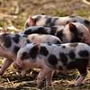 アリババ、養豚場にAIを導入?