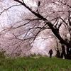 黒沢川の桜満開。