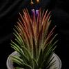 【Tillandsia ionantha 'Special'】開花