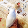 【フツウのコト17】文鳥と私-7-