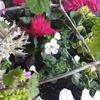 可憐な白い花バコパの効能 自治会環境部 ③