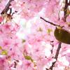2月だけど桜が満開!三浦海岸桜まつりで桜と菜の花を撮影