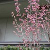 「佐久の季節便り」、「ヒガンザクラ(彼岸桜)」の蕾が、ようやく色づいて…。