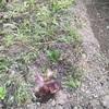 キャベツ植えの前に ☆  私もう待つのは嫌なの。。のチンゲンサイの老化苗と、キャベツの苗との婚約