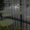 オオオニバス 新宿御苑温室 Victoria amazonica