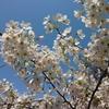 近所の花見スポット2021