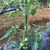 トマトの摘果!