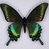 ミヤマカラスアゲハの標本 (オス); 北海道産; 春型 i