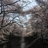 【速報】目黒川の桜 開花状況【2018年3月29日】