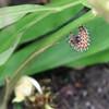 ルリタテハの幼虫 蛹化の準備と蛹化