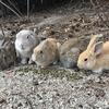 中国九州横断旅行1日目◎ウサギだらけの癒しの島「大久野島」と世界遺産の原爆ドームを観光。