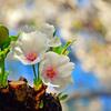 桜(散歩写真)