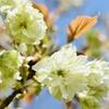 ちょっと高貴な氣分の緑色の桜