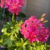 4月のバラのお手入れ✨葉面散布4回目