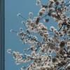 (Snap)都内の桜 2018/3/25