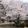 *今日は桜が満開の高麗神社へ。