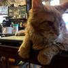 ブリーダーが違えば、そのこだわりもまた違う ~猫のブリーダーさんのお話(メインクーン編)~