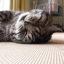 トリコロールな猫