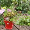 一気にピンクPinkピンクな庭