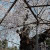 染井吉野じゃない桜