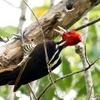 ベリーズ アルツンハ公園の Pale-billed Woodpecker(ペイルビルド ウッドペッカー)
