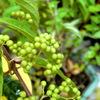 ムラサキシキブ&お仏壇お供えの花のお知らせ (プリザーブドフラワー ハートローズ)