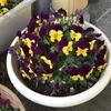 4-312   愛すべき花たち~色鮮やかなプランターに囲まれて…~