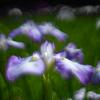 咲き始めた花しょうぶ:行田公園