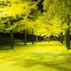 晩秋にライトアップされたイチョウ並木を写真に撮る【カメラに写る黄色の世界】