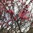 梅の花と、春眠