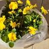 ビオラVSワラジムシ!!秋冬の花と、ビオラを植える前に奴を駆除しよう!