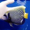 【現物2】タテジマキンチャクダイ 16cm±! 海水魚 ヤッコ 15時までのご注文で当日発送【ヤッコ】