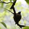 初夏の訪れ「三光」の鳥