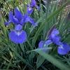 我が家のアヤメ.先週の金曜日に今年初めて開花し,今が見頃.  まだ4月だというのに.今年の春は例年より一二週間早く到来しましたが.その傾向は4月の後半になってもそのまま続いていて,初夏に咲くアヤメ属の花々も続々開花しました.シャガ,イチハツ,ダッチアイリス.そして今はアヤメ.