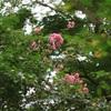 今日の1枚 緑の中に映えるサルスベリの花