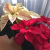 ポインセチアでMerry  Christmas!
