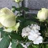 【庭】白いコルダナと白レンゲローズ