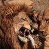 ライオンは実は植物も食べている?