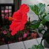 ハイビスカスの花が咲いた